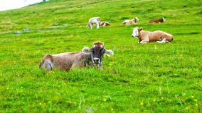 Att tugga kon är att äta gräset från äng Beta i Julian Alps, Slovenien Closeupsikt på åkerbrukt djur i berg lager videofilmer