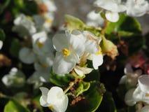 Att växa för vit steg - blomma busken, bakgrund, naturen, äng royaltyfri bild