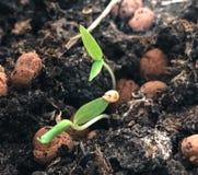 Att växa kärnar ur små växter arkivbild