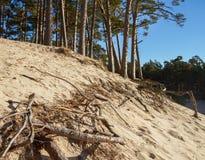 Att växa sörjer träd Fotografering för Bildbyråer