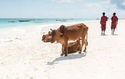 Att vila kor och att gå folk på Zanzibar sätter på land Royaltyfri Foto