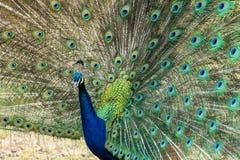 att visa befjädrar dess påfågel Arkivfoton