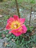 Att vissna livliga rosa färger steg i en trädgård royaltyfria foton