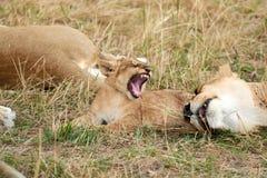 Att vråla behandla som ett barn lejonet royaltyfri bild