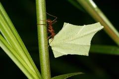 atta liść tnące mrówki. Fotografia Stock