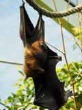 Attaccatura del pipistrello Fotografie Stock