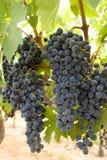 Attaccatura dell'uva fotografia stock