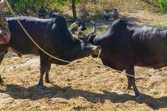 Attacchi della mucca di combattimento al campo di battaglia Fotografia Stock