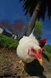 Attacco dei polli dell'assassino Fotografie Stock Libere da Diritti