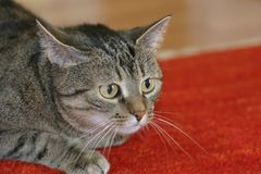 Attacco del gatto Immagine Stock