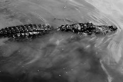 Attacco dell'alligatore! Fotografia Stock Libera da Diritti