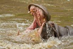 Attacco dell'ippopotamo Immagini Stock