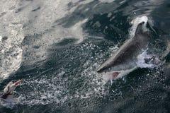 Attacco dello squalo Fotografie Stock Libere da Diritti
