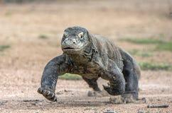 Attacco di un drago di Komodo Il funzionamento del drago sulla sabbia Il drago di Komodo corrente (komodoensis di varano) immagine stock libera da diritti