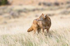 Attacco diritto del coyote nelle pianure di Oklahoman Fotografia Stock Libera da Diritti