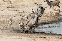 Attacco infruttuoso al coccodrillo al kudu e al unsuccessf dei antilops Fotografia Stock Libera da Diritti