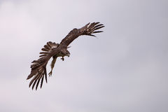 Attack. Red-Tailed Hawk swooping down to catch it's prey Stock Photography