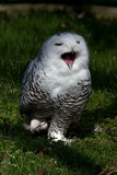 Attack!. The snow owl is hunting for food Royalty Free Stock Image