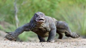 Attack av en Komodo drake Drakespringen på sand Den rinnande komodoensisen för Varanus för Komodo drake Är den största uppehället Fotografering för Bildbyråer