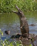 Attack crocodile Stock Images