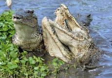 Attack crocodile. Cuban Crocodile (crocodylus rhombifer). Stock Photography