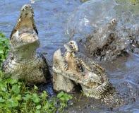 Attack crocodile. Cuban Crocodile (crocodylus rhombifer). Royalty Free Stock Images