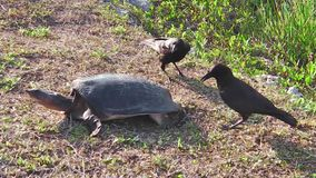 Attack of the crows. Female of Florida softshell turtle defending its eggs from the stealing attack of the crows in the Everglades National Park, Florida, United stock video footage