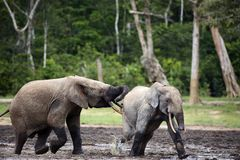 Attack of an elephant. The African Forest Elephant (Loxodonta cyclotis) is a forest dwelling elephant of the Congo Basin Royalty Free Stock Photo