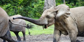 Attack of an elephant. The African Forest Elephant (Loxodonta cyclotis) is a forest dwelling elephant of the Congo Basin Stock Image