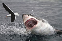 Attack great white shark. Great white shark attacking sea gull royalty free stock image