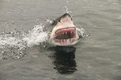 Attack great white shark. Attack dangerous great white shark stock photo