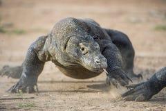 Attack of a Komodo dragon. The dragon running on sand. The Running Komodo dragon ( Varanus komodoensis ) . Stock Photography