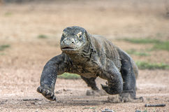 Attack of a Komodo dragon. The dragon running on sand. The Running Komodo dragon ( Varanus komodoensis ) . Royalty Free Stock Image