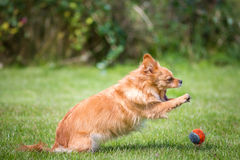 Attack. A small brown dog jumps on a tennis ball royalty free stock image