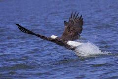 attackes αετός το θήραμά του Στοκ Φωτογραφία