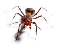 Attacking big red ant. Attacking big red ant isolated on white background.  Macro with shallow dof Royalty Free Stock Photos