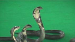 Attacking Cobra stock video