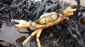 Attacking crab Royalty Free Stock Image