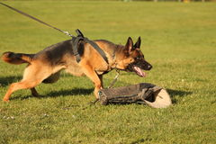 Attacking dog in training Royalty Free Stock Image