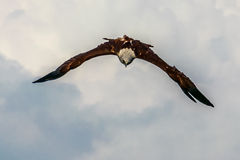Attacking Eagle. The Red-backed Sea-eagle Royalty Free Stock Photo