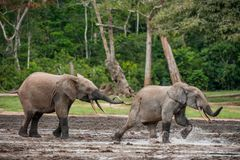 The attacking Elephant. Forest Elephant (Loxodonta africana cyclotis), (forest dwelling elephant) of Congo Basin. Dzanga saline (. A forest clearing) Central stock photos
