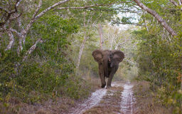 Attacking female adult Elephant Royalty Free Stock Image