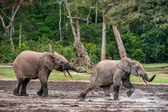 Attacking Forest Elephant Royalty Free Stock Photos