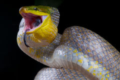Attacking golden ratsnake Stock Image