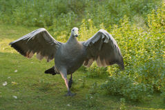 Attacking goose royalty free stock photos