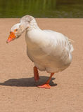 Attacking Goose Stock Image