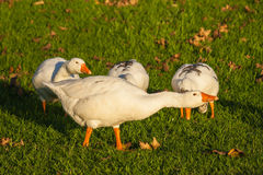 Attacking goose Stock Photography