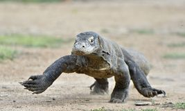 Attacking Komodo dragon. Varanus komodoensis. Dragon running on sand. Royalty Free Stock Photos