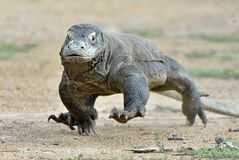 Attacking Komodo dragon Varanus komodoensis. Dragon running on sand.  Indonesia. Is Stock Image