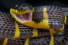 Attacking mangrove snake. The Gold-ringed Cat Snake or Mangrove Snake ,Boiga dendrophila, is a species of snake that belongs to the genus of Boiga. They are one Royalty Free Stock Image